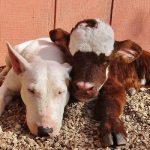 Açık Arttırmadan Sahiplenilen Minik İneğin 12 Köpekle Kardeşlik Hikayesi