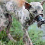 Caniler Köpeğin Ağzını Bantla Sarıp Sokağa Attılar – 537 Gün Sonra Köpek Hayata Döndü
