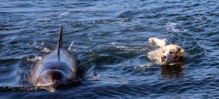 Her Gün Yunus Arkadaşıyla Yüzmek İçin Denize Açılan Adalı Köpek