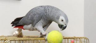 Mahkeme cinayeti, papağanın tanıklığında çözdü