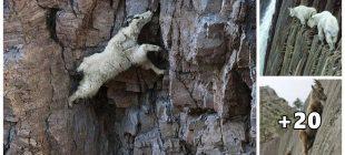Keçi Deyip De Geçmeyin! İnat Ettiklerinde Tırmandıkları Yerleri Görünce