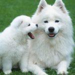 Samsun'da kanseri koklayarak teşhis edecek köpekler yetiştirilecek