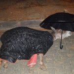 Günün en güzel karesi: Jandarma, yaralı eşek ıslanmasın diye şemsiye tuttu