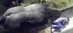 Çocuk Gorilin Kafesine Düştü – Herkes Gorilin Çocuğa Zarar Vereceğini Düşünürken O Bakın Ne Yaptı