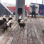 Balıkçının Gemisine 9 Kel Kartal Geldi – Kamera Sola Dönünce Dikkatle Bakın