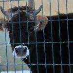 Erzurum'da kazaya karışan inek 18 aydır gözaltında