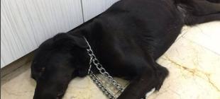İstanbul'un göbeğinde vahşet: Sokak köpeğinin makatına silikon sıkıldı