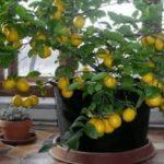 Evde limon ağacı nasıl yetiştirilir