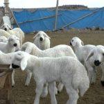Köyüne geri dönen çiftçiye devletten 300 koyun; üstüne de maaş! İşte tüm detaylar…