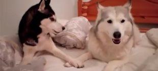 İnsan Gibi Tartışan Köpekler Görenleri Şaşkına Çevirip Kahkaha Attırdı