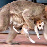 Maymunun Yavru Köpeği Kaçırma Nedenini Öğrenince Gözleriniz Dolacak