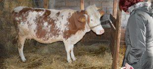 300 koyun projesinde takvim belli oldu! Sırada 1 milyon inek var…