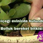 Para Ağacı ya da  Bereket Bitkisi Olarak Bilinen Crassula Çiçeğini Evinizden Eksik Etmeyin Özellikle Borcu Olanlar…