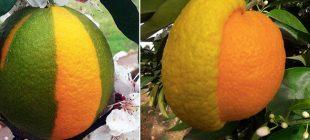 Yarısı limon, yarısı portakal meyve görenleri hayrete düşürdü