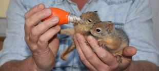 Yavru sincapları biberon ile besliyor