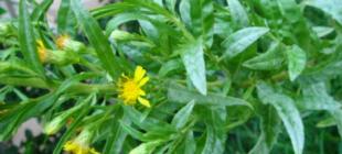 Bu Bitki Kanser Dahil Pek Çok Hastalığı Yeniyor! Lütfü Dede: Herkese Şifa Olsun İnşallah Diyor. Paylaşalım Duyuralım