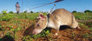 4 günlük işi tek başına yarım saatte yapabiliyor! Bu fareler hayat kurtarıyor…