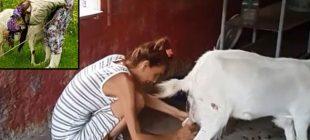 Bir zamanlar bikini ile podyumlarda boy gösteriyordu, artık çiftliğinde süt sağıyor